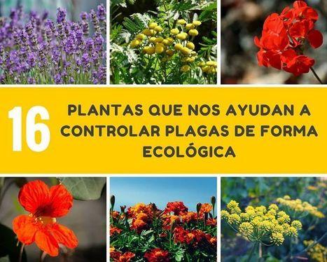 16 plantas que nos ayudan a controlar plagas de jardines y huertos de forma ecológica | EL RACÓ DE LA JARDINERIA | Scoop.it