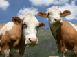Cows Fed Candy Because Corn Prices Too High | Food issues | Scoop.it