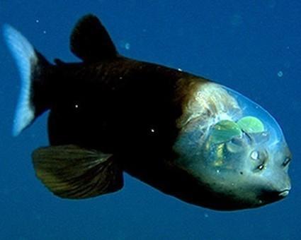 A la rencontre de l'étrange poisson revenant «explosif» | Biodiversité | Scoop.it