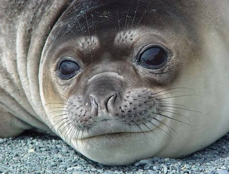 Seals reveal secrets of polar oceans | OUR OCEANS NEED US | Scoop.it