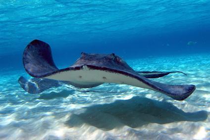 Les raies : des requins aplatis ! | Rays' world - Le monde des raies | Scoop.it