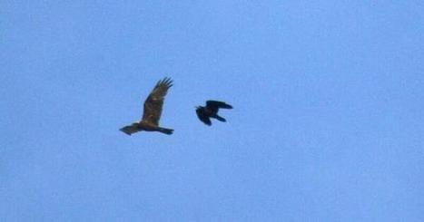Tweet from @ECoastBirdNews   British Birds of Prey   Scoop.it