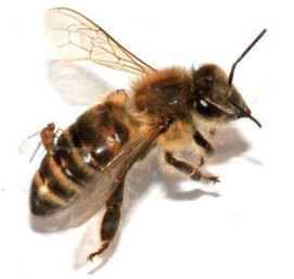Home | ZomBee Watch | Citizen Science in Action | Scoop.it