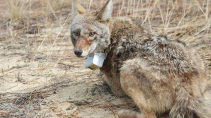 Coyotes filling wolves' niche in southeastern US | Oceans and Wildlife | Scoop.it