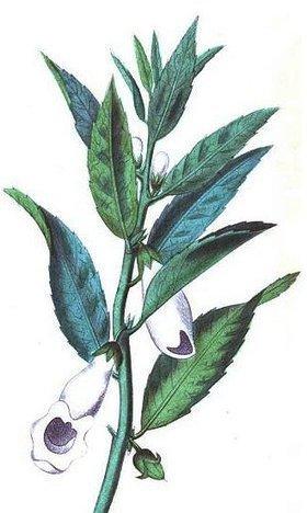 Sésamo   Ajonjolí (sesamum indicum).   Scoop.it