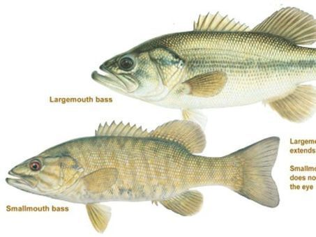 High levels of mercury found in Oregon bass | Sustain Our Earth | Scoop.it