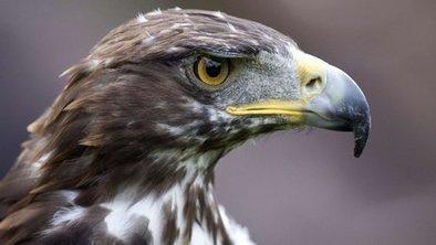 Golden eagle 'Scotland's favourite' | Sustainable Tourism | Scoop.it