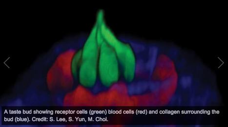 Scientists watch live taste cells in action | WWWBiology | Scoop.it
