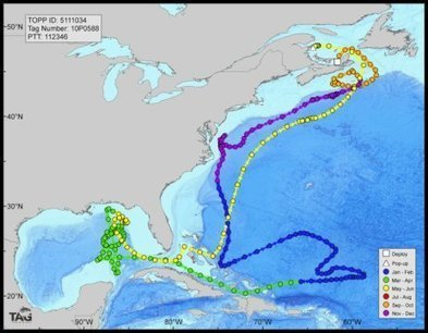 Deepwater Horizon oil spill impacted bluefin tuna spawning habitat in Gulf of Mexico | Texas Coast Living | Scoop.it