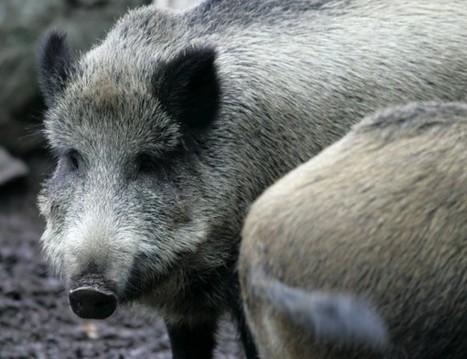 Sikarutto uhkaa - villisiat halutaan tappaa Suomesta | Riista-alan osaaja - koulutus | Scoop.it