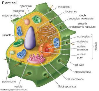 Mais qui est donc Elysia chlorotica? | C@fé des Sciences | Scoop.it