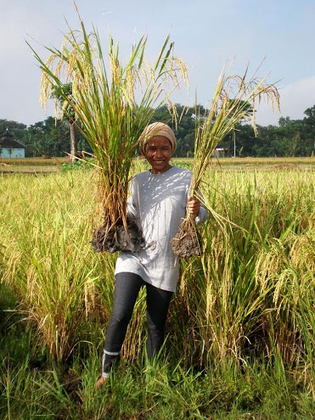 Unraveling The Mystery Of A Rice Revolution : NPR | A Better Food System | Scoop.it