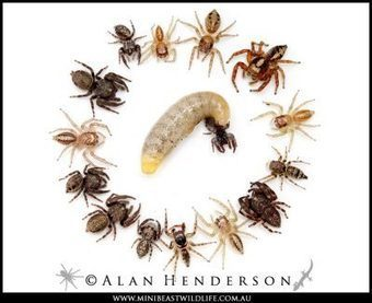 These spiders are zombies « Why Evolution Is True   Parasites   Scoop.it