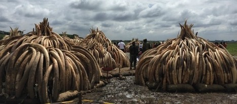 As Kenya Stages Largest-Ever Ivory Destruction, UNEP Reiterates Zero Tolerance for Illegal Trade in Wildlife | Conservation | Scoop.it