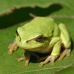 Frog Calls Inspire a New Algorithm for Wireless Networks | Biomimicry | Scoop.it