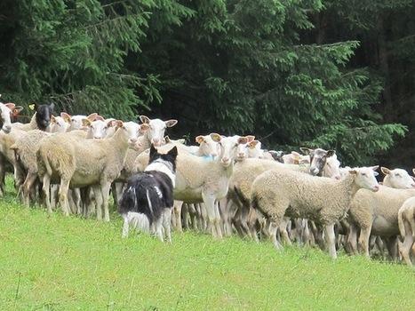 Troupeaux demoutons attaqués dans le Vercors : ya-t-il un loup ? | Place Gre'net | Loup | Scoop.it