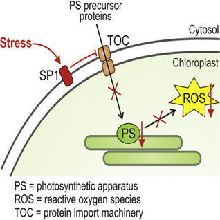 Regulation of Chloroplast Protein Import by the Ubiquitin E3 Ligase SP1 Is Important for Stress Tolerance in Plants | Plant Gene Seeker -PGS | Scoop.it