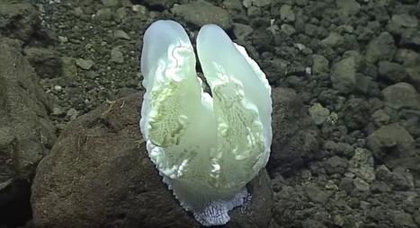 De nouvelles créatures fabuleuses découvertes dans la fosse des Mariannes | Beyond the cave wall | Scoop.it
