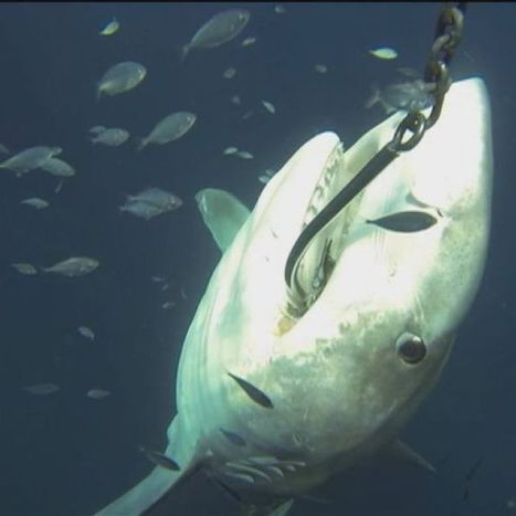 Campaigner goes underwater to film shark cull | Saving All Animals | Scoop.it