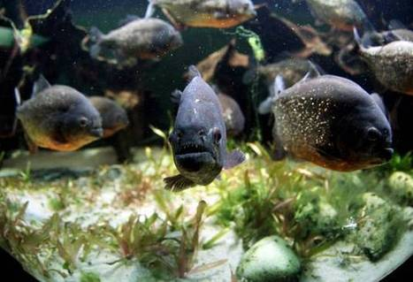 Sixty injured in piranha attack on Christmas Day | Quite Interesting News | Scoop.it