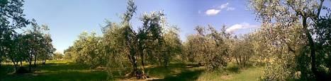 Natura tradizione benessere: Ricetta olive in salamoia | Alimentazione Naturale, EcoRicette Veg e Vegan | Scoop.it