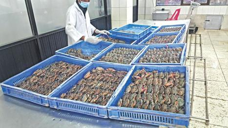 Blazing a trail in farming soft-shell crab | Global Aquaculture News & Events | Scoop.it