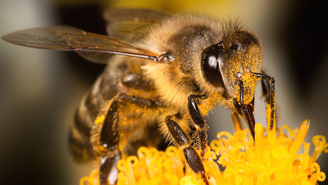 This federal judge just sided with bees over bureaucrats   Nature, climat, environement et santé   Scoop.it