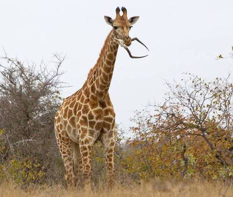 And Now, A Giraffe Eating An Impala Skull | Strange days indeed... | Scoop.it
