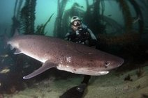 Sharks Attracting Attention In San Diego Waters   KPBS.org   Undersea Discoveries   Scoop.it