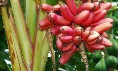 What is in a banana name? | Agricultural Biodiversity | Scoop.it