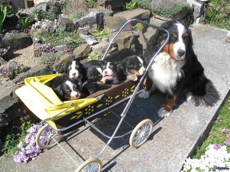 So Cute Bernese Mountain Puppies | picturescollections | Scoop.it