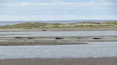 Murieron 20 orcas tras varar en el Estrecho de Magallanes   Animales en peligro   Scoop.it