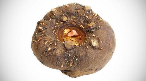 Le konjac, un tubercule coupe-faim à zéro calorie | Planète Paléo | Scoop.it