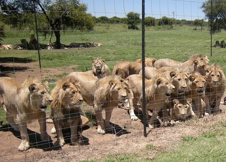 #ShockWildlifeTruths: UK volunteer reveals state of SA predator breeding farm | Trophy Hunting: It's Impact on Wildlife and People | Scoop.it
