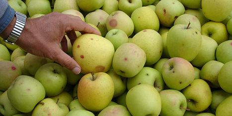 Premiers dégâts sur pomme dans l'Hérault | Arboriculture: quoi de neuf? | Scoop.it