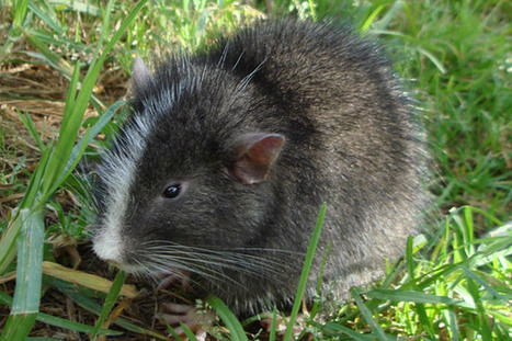 In the shadows of Machu Picchu, scientists find 'extinct' cat-sized mammal | Paneco Press: Species Watch | Scoop.it