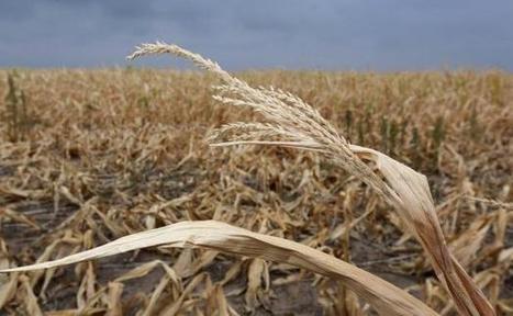 Le changement climatique transforme en casino le marché des céréales | Questions de développement ... | Scoop.it