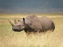 Wildlife Extra News - 3 percent of the world's rhinos were poached in 2012 - Unsustainable | Kruger & African Wildlife | Scoop.it