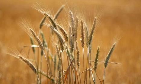 Agriculture : la production mondiale de céréales sera à un niveau record en 2013 | Nourrir la planète... autrement | Scoop.it