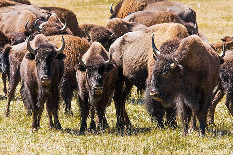Grand Canyon Bison Might Become Hunting Trophies | Conservation | Scoop.it