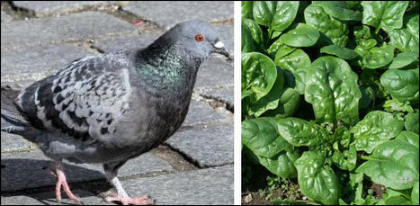 Il trouve une aile de pigeon dans son assiette | Drôles de faits divers... | Scoop.it