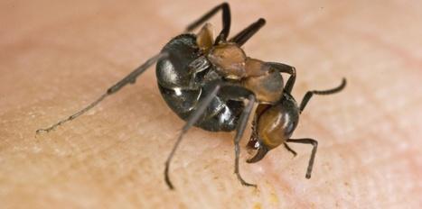 La fourmi rousse : une étrange technique d'attaque | EntomoScience | Scoop.it