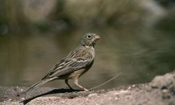 A third of Europe's birds under threat, says most comprehensive study yet | Gentlemachines | Scoop.it
