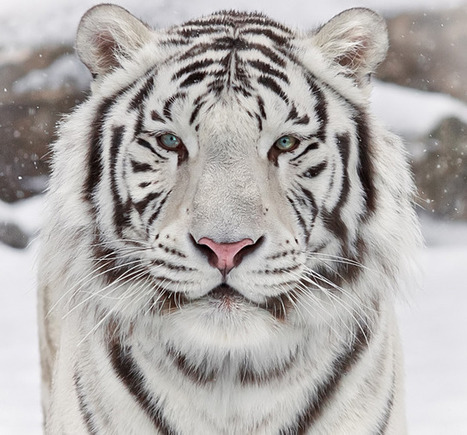 Wild Tiger Photography | Everything Photographic | Scoop.it