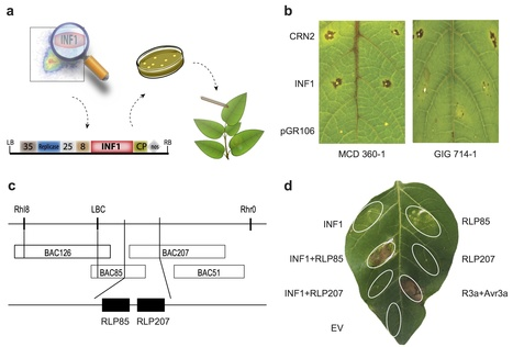 Nature Plants: Elicitin recognition confers enhanced resistance to Phytophthora infestans in potato (2015) | Hot topics on Science, biotechnology and plant pathology | Scoop.it