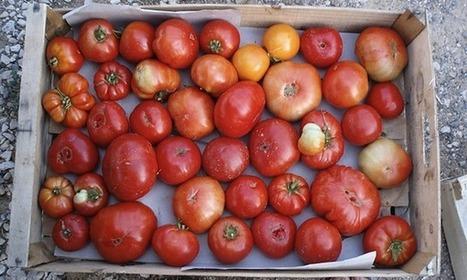 À la recherche des tomates goûtues perdues | slate | Actu Boulangerie Patisserie Restauration Traiteur | Scoop.it
