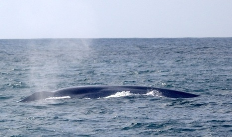 IWDG research team encounter Blue Whales | Life on Earth | Scoop.it