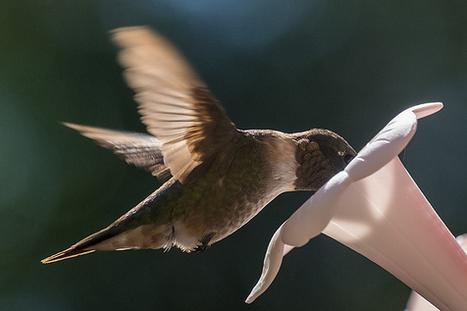 Storyteller: Capturing Hummingbirds with Fuji X-E2 with 55-200mm | Fuji X-E2 | Scoop.it