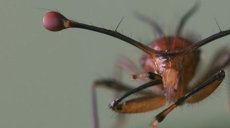 Mais pourquoi diable cette mouche a les yeux si écartés ? | EntomoScience | Scoop.it