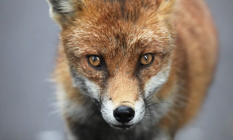 Fox-hunting ban could be relaxed | Fox Hunting | Scoop.it